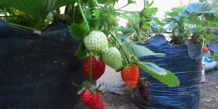 Tanaman strawberry di kebun (anja)